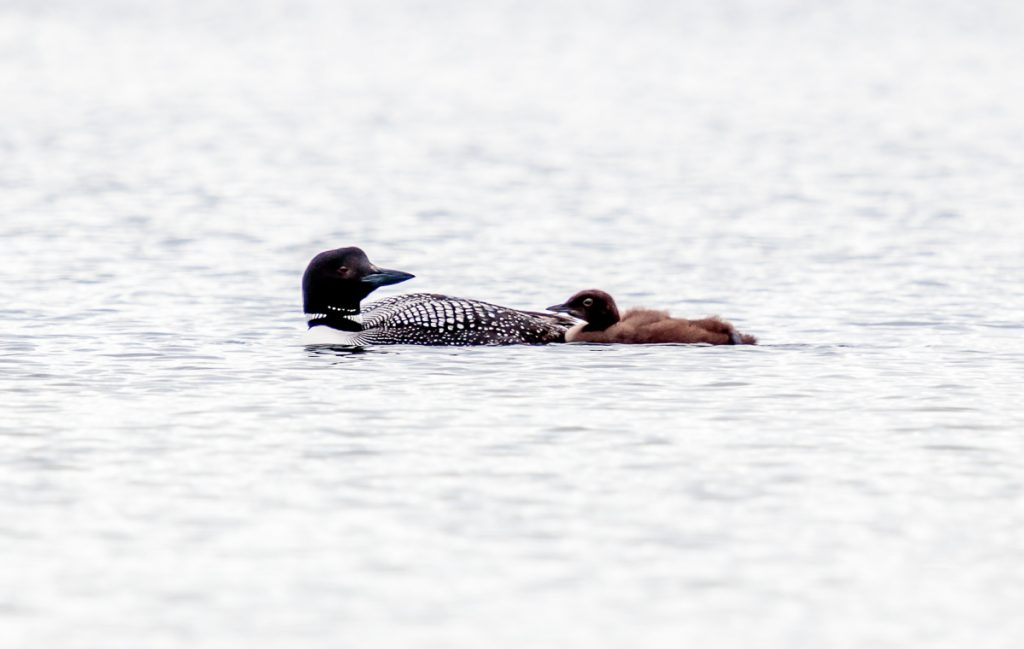 Mom and Baby Loon