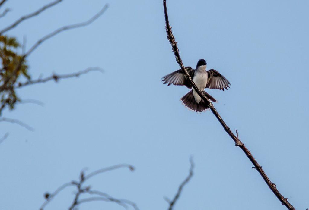 Kingfisher Landing in Tree