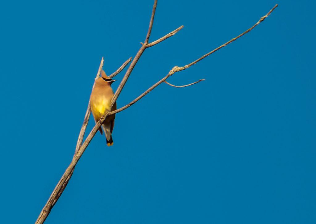 Cedar Wax Wing