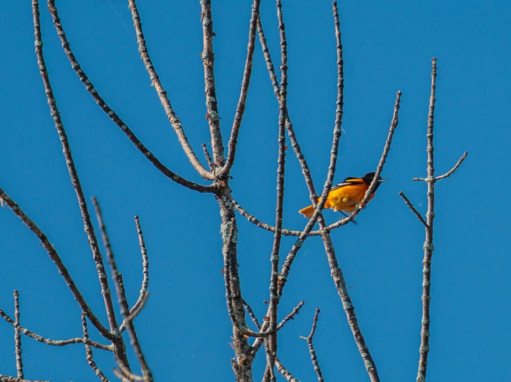 Baltimore Oriole