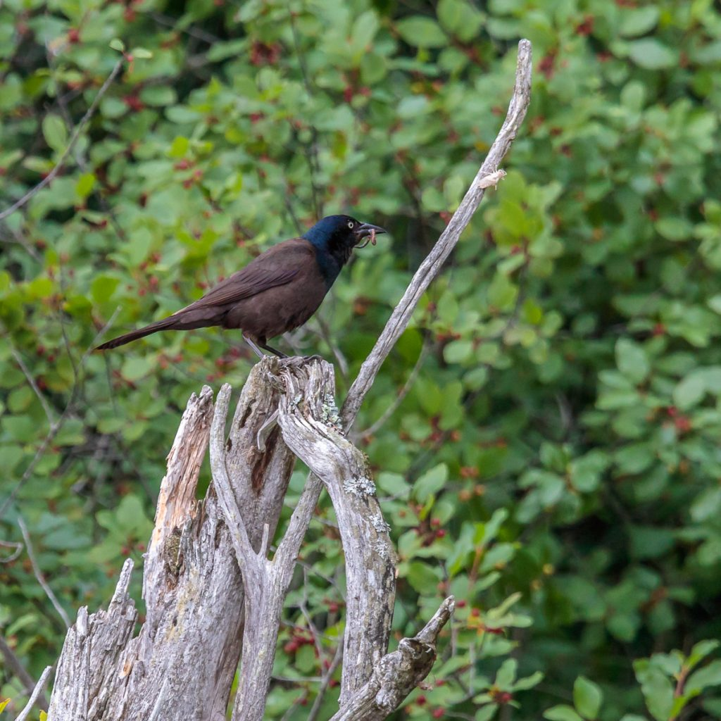 Grackle with Breakfast