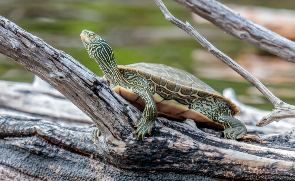 Turtle Sunning on a Log
