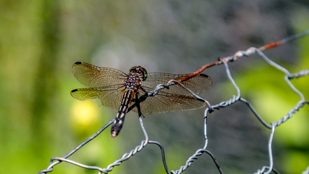 Dragon Fly on the Garden Fence