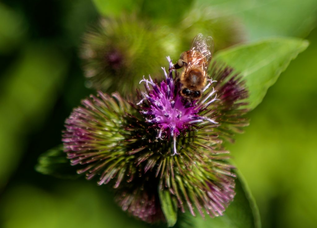 Bee in Burdock