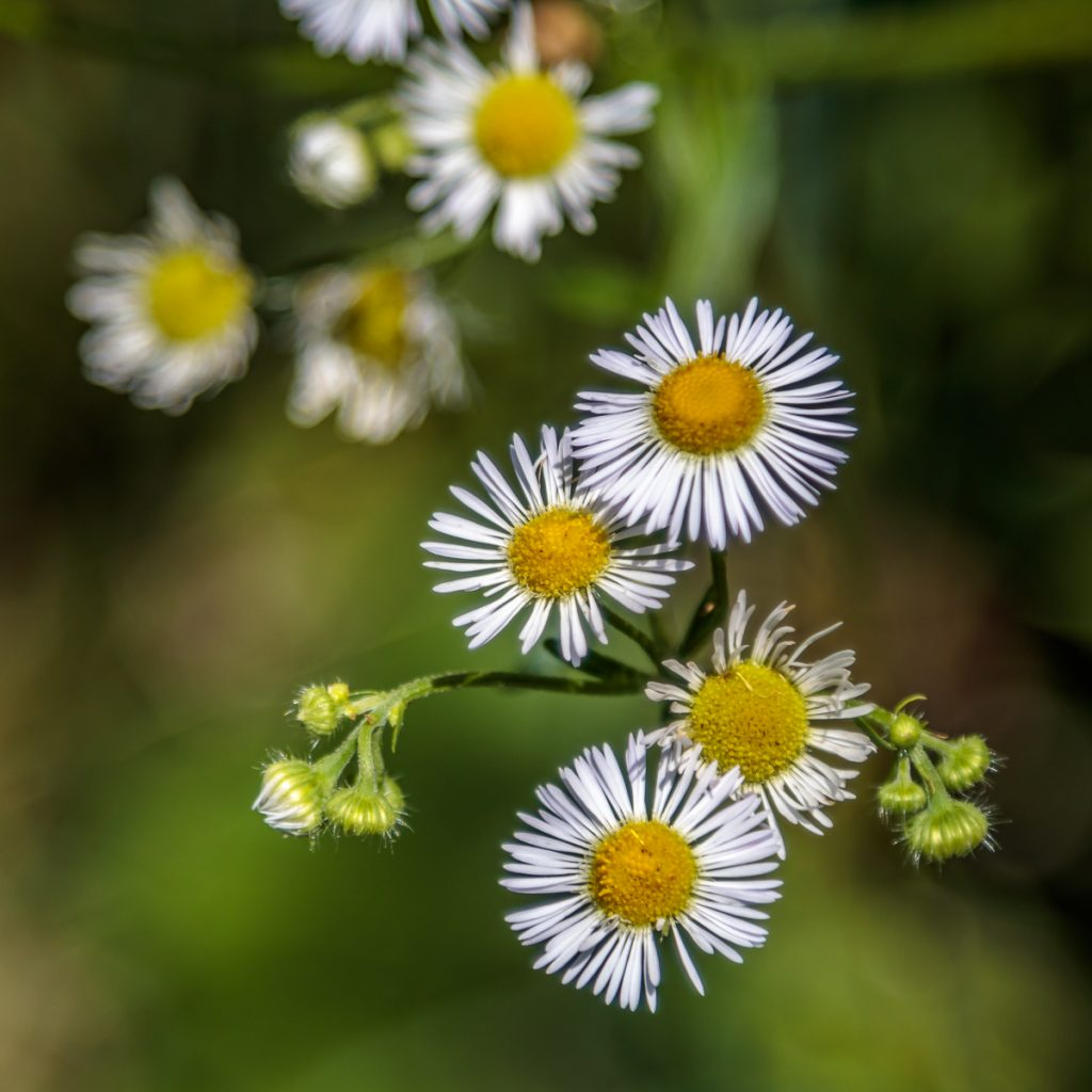 Wild Asters