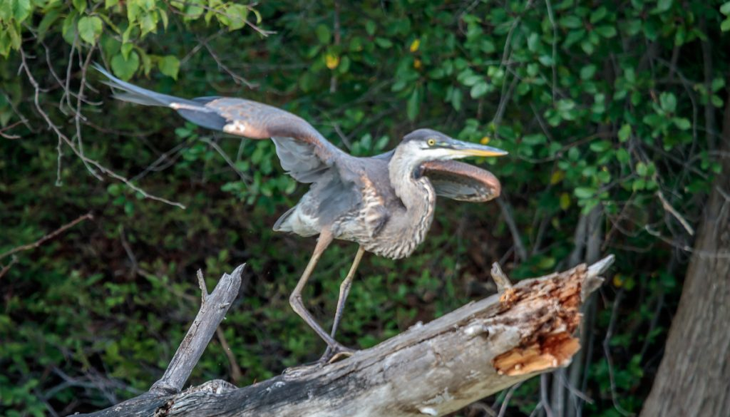 Great Blue Heron Ready to Fly