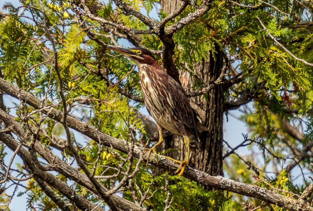 Young Green Heron in Tree