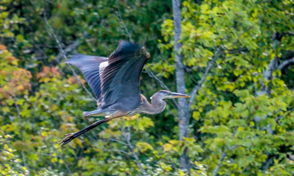 Another Great Blue Heron in Flight