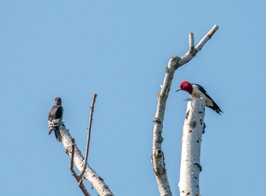 Red Headed Woodpecker on Nest