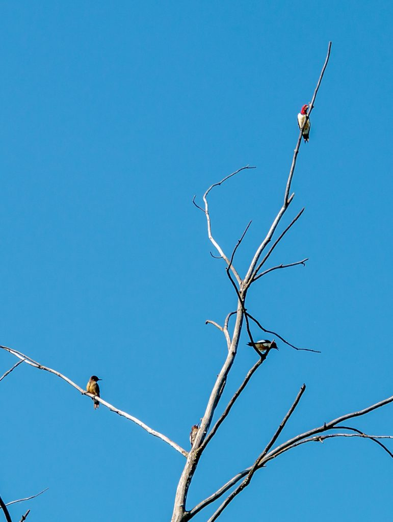 Family of Red Headed Woodpeckers