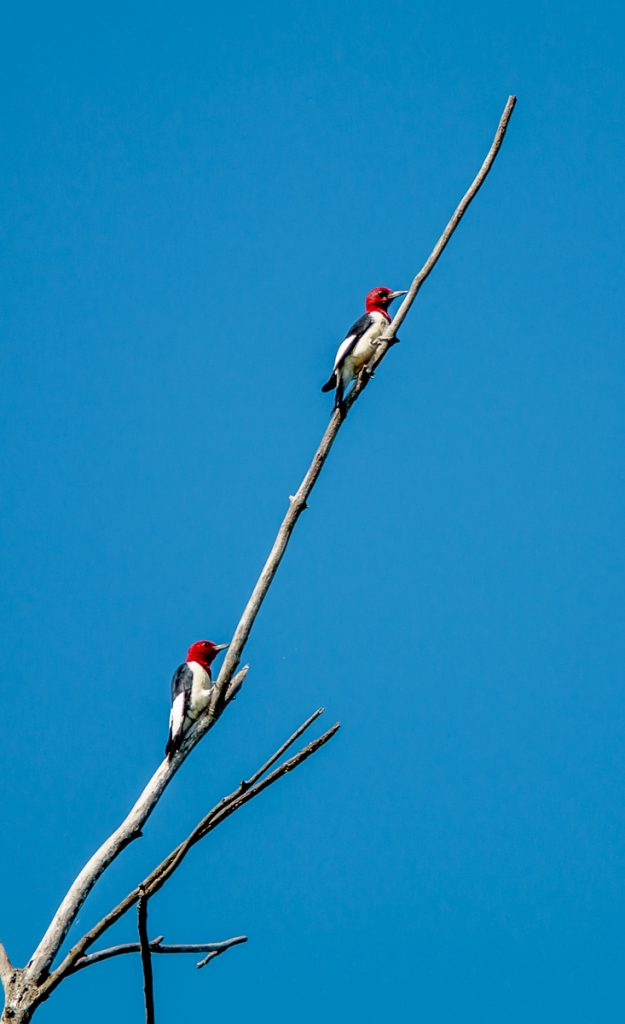 Pair of Red Headed Woodpeckers