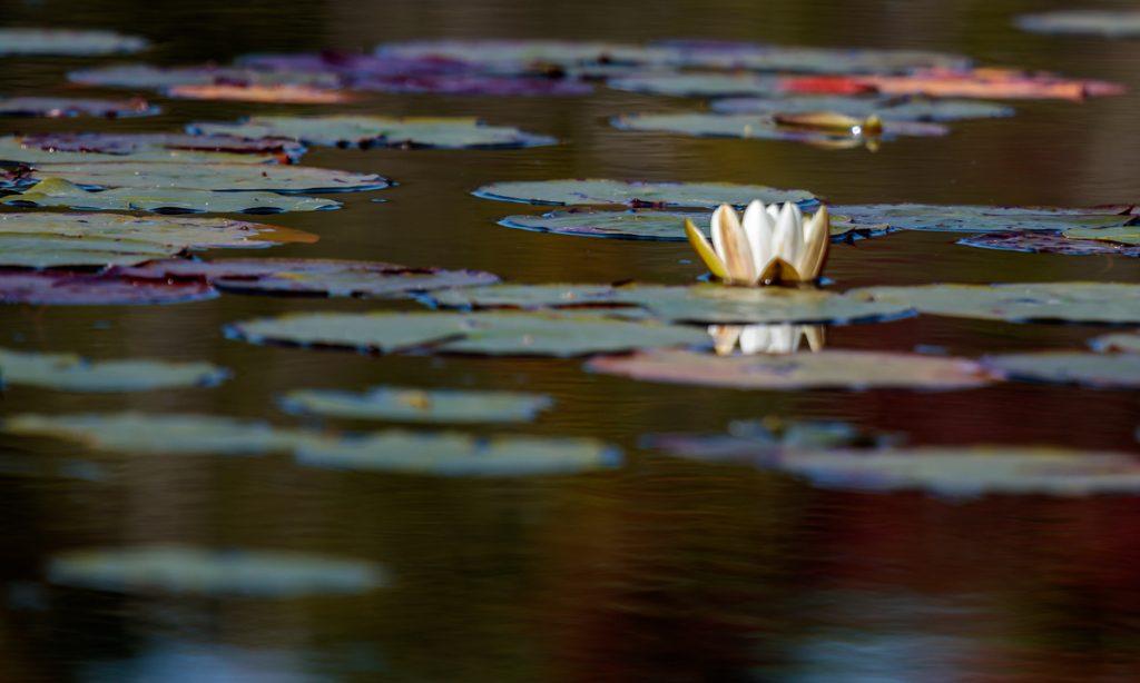 Water Lily among Lily Pads