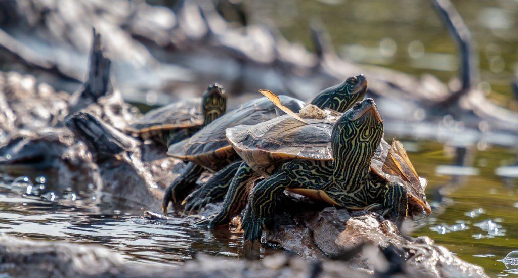 Turtle Traffic Jam on a Log