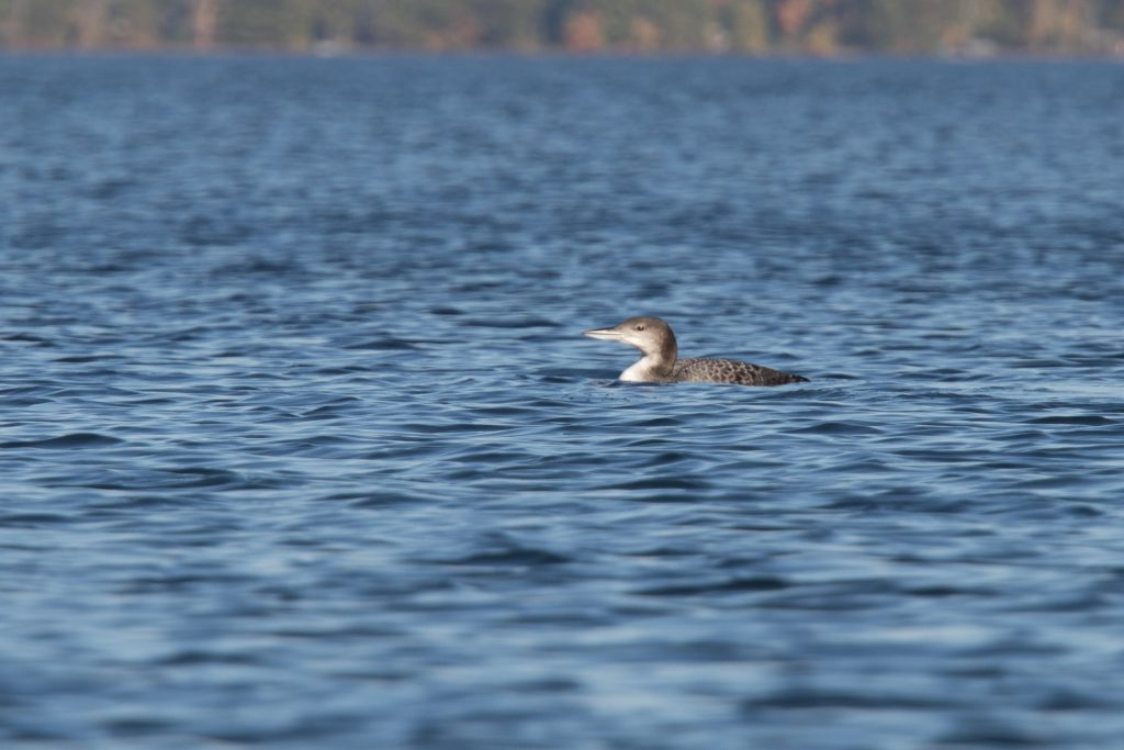 Another Autumn Loon
