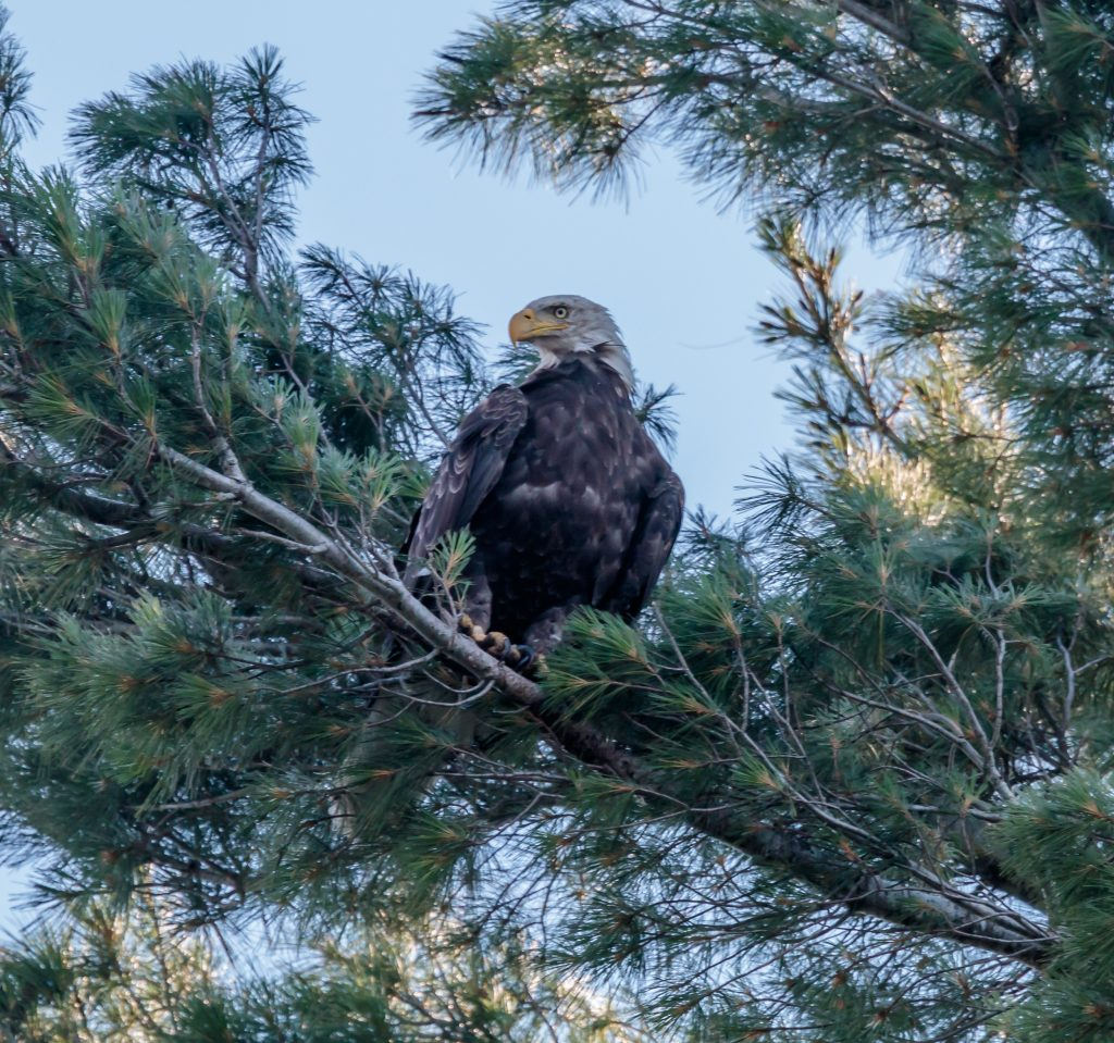 Eagle Looking Over the Lake