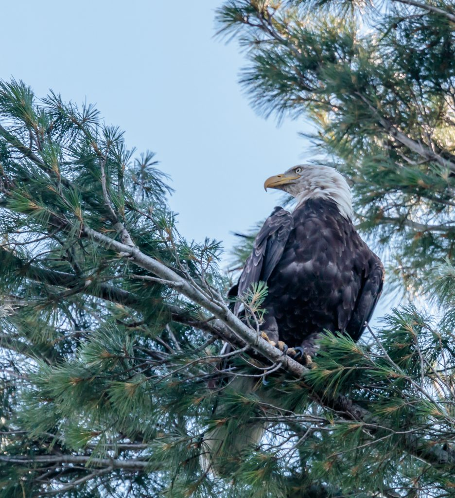 Eagle Looking Over Lake