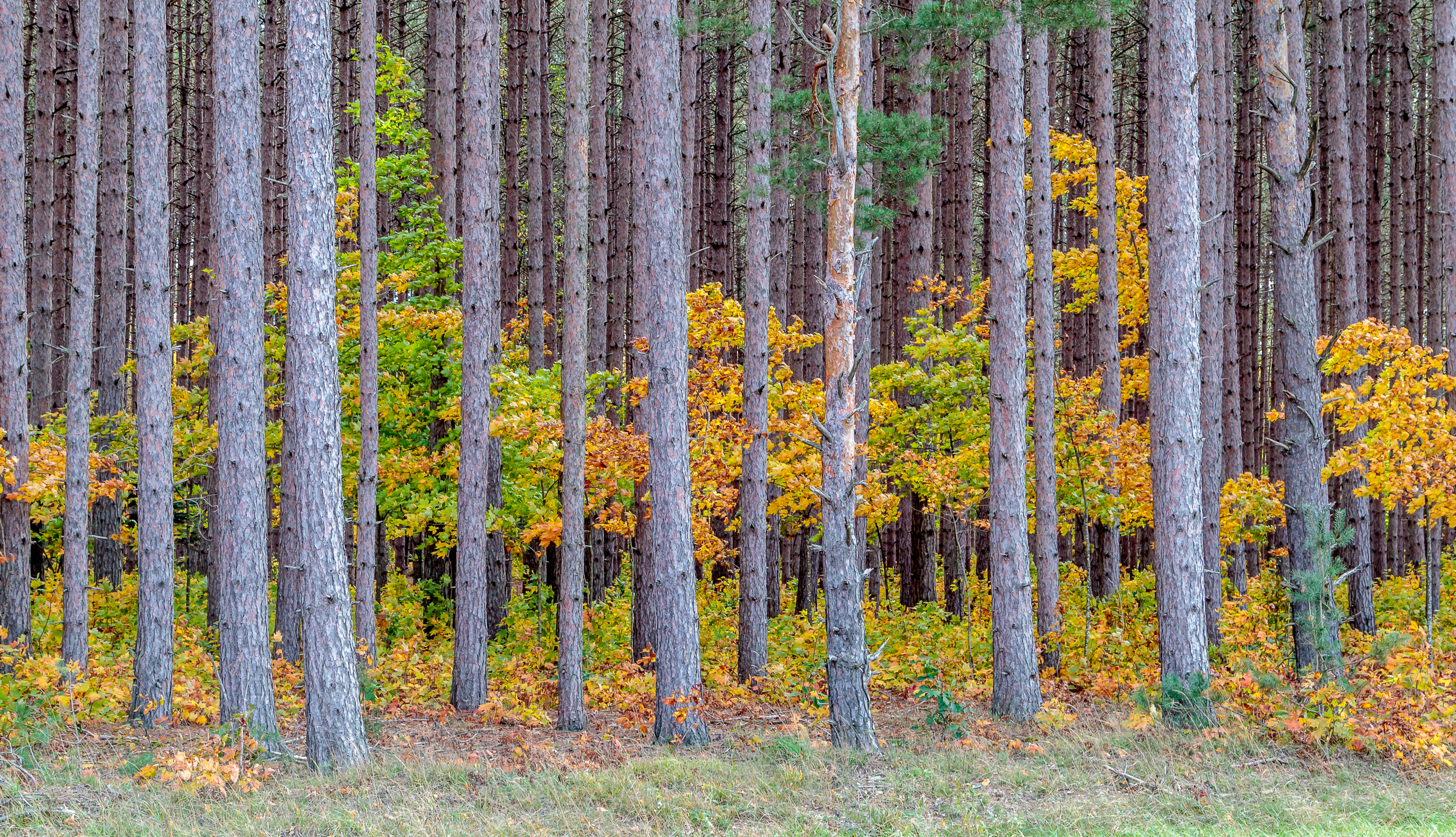 Color in the Pines