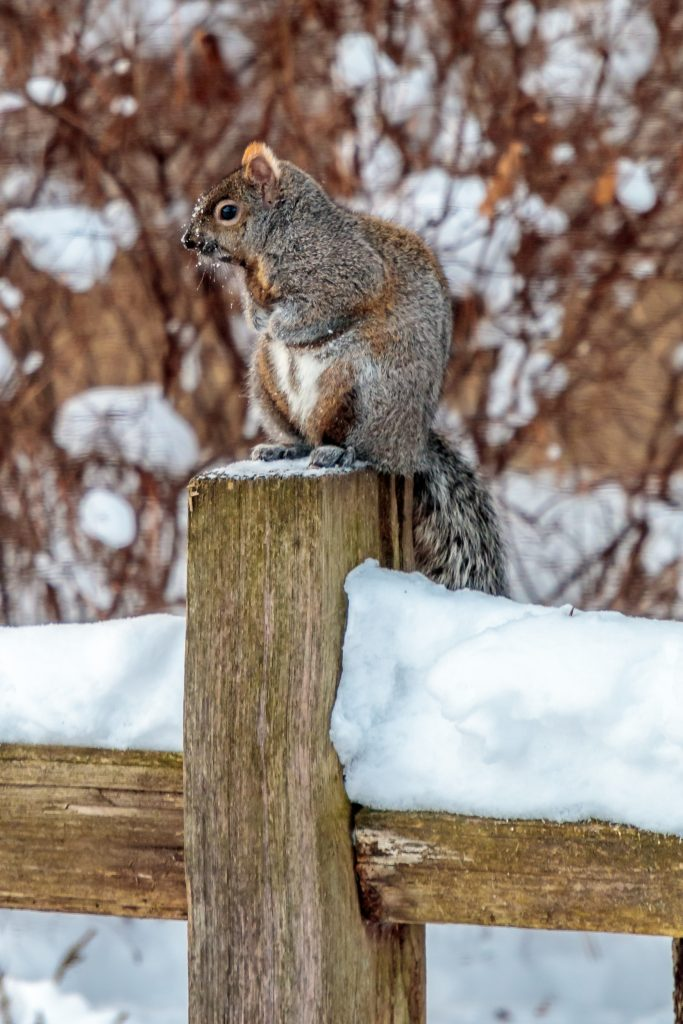 squirrel on a Fence Post