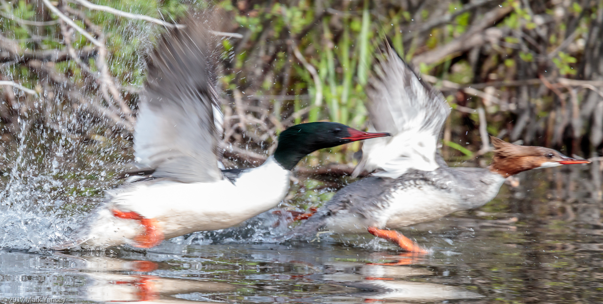 Pair of Mergansers Taking Flight