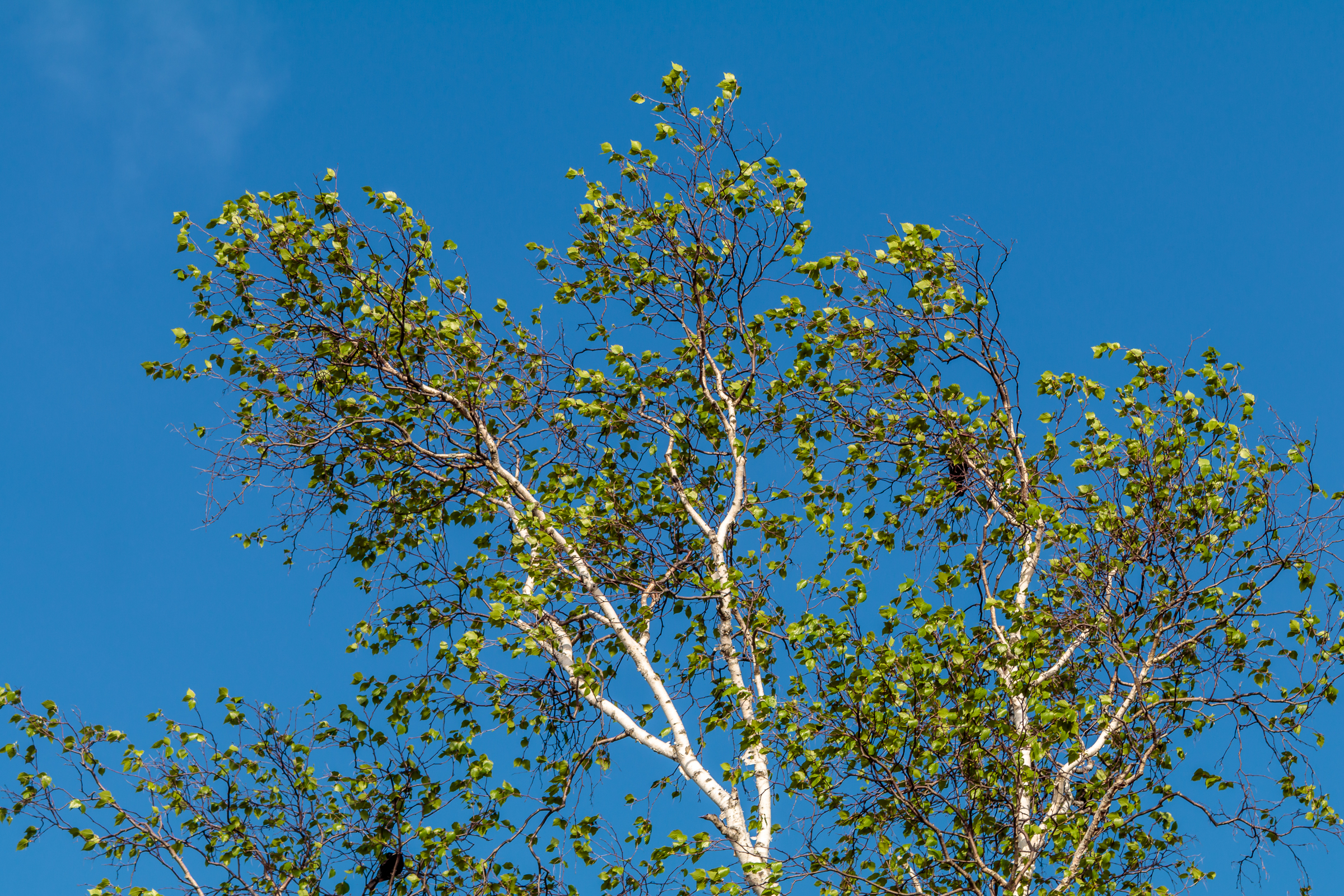 White Bark, Green Leaves, Blue Sky