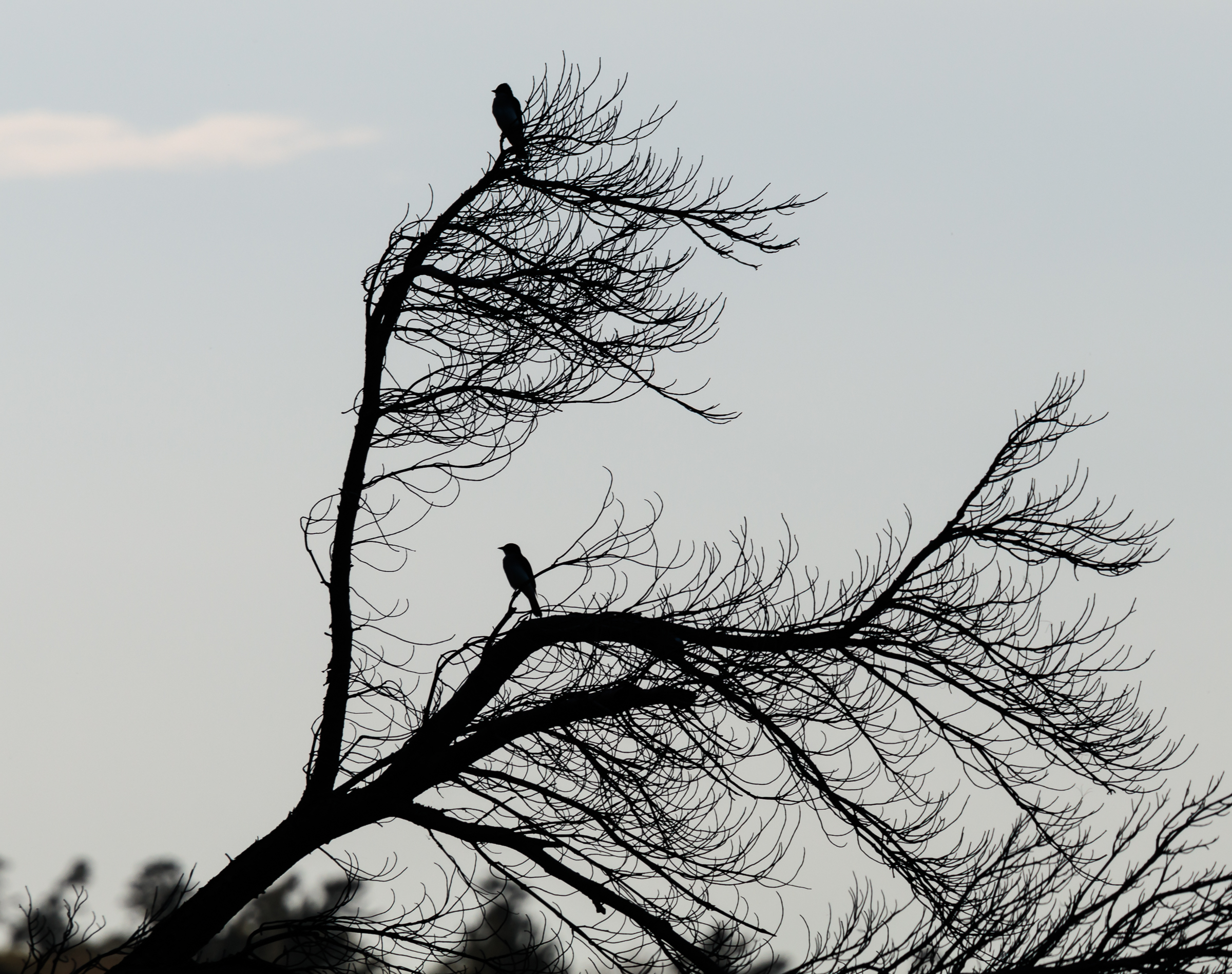 Birds Silhouetted on Dead Tree